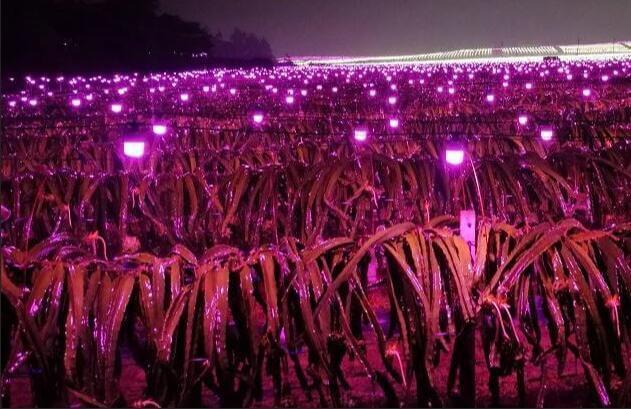 LED PITAYA LAMP